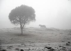 Dias gelados no Sul.. (Miriam Cardoso de Souza) Tags: winter tree gelo fog rural wb pb campo arvore neblina inverno cavalo frio geada ruralidades brasilriograndedosul