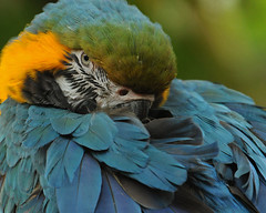Art (J Bespoy Photography) Tags: blue portrait canada green bird art yellow closeup vancouver bc britishcolumbia sleepy tropical macaw blueandgoldmacaw bloedelconservatory tc14eii supershot allrightsreserved specanimal nikkor70200f28vrii blinkagain