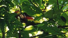 Macaw in Corcovado (Costa Rica 2000) (paularps) Tags: travel holiday nature vakantie costarica flickr 2000 culture leisure reizen flickrcom destinations vakantiefotos adventuretravel arps paularps
