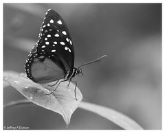 WMOAPG_MW_06 (JeffreyADutton) Tags: butterflies indoor magicwings southdeerfieldma wmoapg