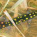 Spotted Salamander - Breeding Pool