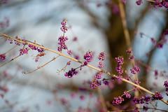 015/366 (Kim_Reimer) Tags: canada berry branch berries dof bc purple britishcolumbia canadian northamerica