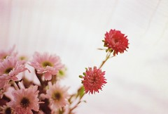 (nancy.myy) Tags: pink light red flower love relax soft joy passion joyful om1 solaris reddish fruitful om1n solaris100