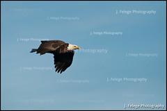 Bald Eagle en Flight (jfelege) Tags: bird mississippi flying eagle baldeagle bald iowa soaring eagles flyingeagle eaglebald eagleadult adultbirdeagle