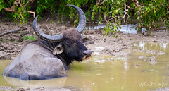 Vojkan Dimitrijevic - Bison (malivoja) Tags: wild nature water rain animal canon mammal asia looking wildlife srilanka bison vojkandimitrijevic