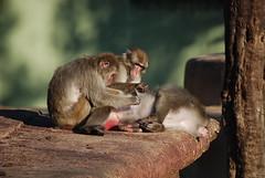 Socialisation (Mariasme) Tags: italy 3 rome animals zoo three grooming monkeys gamewinner villadeborghese 15challengeswinner friendlychallenges thechallengefactory fotocompetition fotocompetitionbronze yourockwinner yourockunanimous herowinner storybookwinner pregamewinner lostamatch