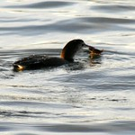 Common loon with crab thumbnail