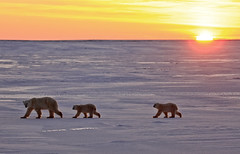 "Eisbären Cape Churchill. Hudson Bay, Kanada (10) • <a style=""font-size:0.8em;"" href=""http://www.flickr.com/photos/73418017@N07/6730305257/"" target=""_blank"">View on Flickr</a>"