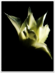 White Tulip on Black........   Explored 22 January 2012 #430. (♥ Katie ann. Off more than on.) Tags: simplybeautiful abigfave brillianteyejewels flowerorfoliagedetail natureselegantshots creativeimpulse handselectedphotographs symphonieflorale certifiedphotographer 2heartsaward grandesflores creativeimpulselevel2