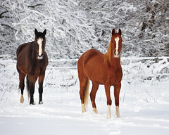 Horses in the Snow ~ Cental Lower Michigan (Michigan Nut) Tags: ranch trees winter horses horse usa snow nature fence photography midwest michigan branches snowscape johnmccormick