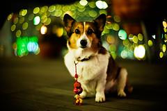 Happy Chinese New Year! (moaan) Tags: leica light dog digital 50mm corgi dof bokeh chinesenewyear f10 illuminated utata noctilux welshcorgi lunarnewyear 2012 m9 goodluckcharm explored pochiko leicanoctilux50mmf10 leicam9 gettyimagesjapan12q1