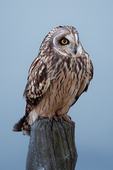 Velduil Short-eared Owl Asio flammeus (ronald groenendijk) Tags: nature birds wildlife vogels natuur zeeland owl owls birdsofprey asio uilen shorteared flammeus velduil