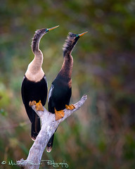 Breeding Anhingas (Michael Pancier Photography) Tags: wako wakodahatcheewetlands breedingplumage commercialphotography naturephotographer michaelpancierphotography landscapephotographer avianexcellence fineartphotographer michaelapancier birdperfect wwwmichaelpancierphotographycom breedinganhingas maleandfemaleanhinga maleandfemaleanhingaperched perchedanhingas