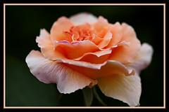 Apricot Ice (Audrey A Jackson) Tags: flower colour macro nature rose petals apricot davidaustinroses canon450 mygearandme musictomyeyeslevel1 flickrstruereflection1