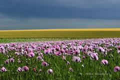 Trait de soleil (Hélène Quintaine) Tags: france nature rose fleurs jaune soleil juin culture vert bleu ciel été paysage campagne pharmacie champ pétale papaver pavot blé tige loiret blés officinal champdepavots