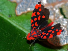 Leafhopper (Ladoffa dependens) (berniedup) Tags: ladoffadependens taxonomy:binomial=ladoffadependens
