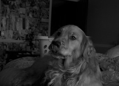 (brklynn) Tags: dog blakandwhite goldenretriever george lick