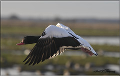 FLIGHT OF A COMMON SHELDUCK (Shaun's Wildlife Images....) Tags: birds geese ducks shaund