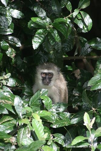 Vervet Monkey 4