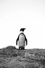 Penguin Overlook (Lauren Barkume) Tags: africa vacation white black animal rock southafrica penguin december ct capetown jackass westerncape 2011 laurenbarkume gettyimagesmeandafrica1