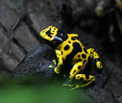 Yellow-banded poison dart frog (KerryMaher1) Tags: zoo park londonzoo menagerie garden yellowbandedpoisondartfrog sanctuary animal zsllondonzoo safari conservation zoological