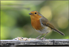 ROBIN (Shaun's Wildlife Images....) Tags: birds shaund