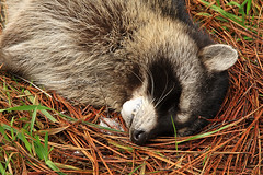 The World's Best Photos of foam and rabies - Flickr Hive Mind Raccoon With Rabies Foaming