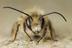 Miner bee (DeVil__) Tags: macro insect bee focusstacking minerbee macrolife