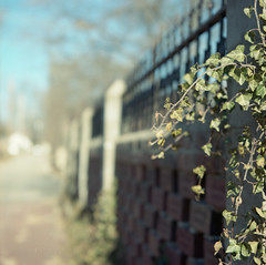 fence friday. (tumbleweed.in.eden) Tags: film fence lawrence downtown bricks ivy hasselblad friday fency