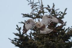 Rough Legged BIF (Stu Price) Tags: bird japan hokkaido flight bif roughleggedbuzzard canoneos7d canonef10400lis birdperfect