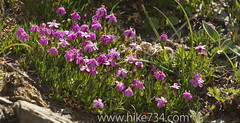 "Moss Campion • <a style=""font-size:0.8em;"" href=""http://www.flickr.com/photos/63501323@N07/6832847457/"" target=""_blank"">View on Flickr</a>"