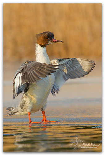 Common Merganser-Mergus merganser