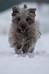 Glen Of Imaal terrier (TONSAPICS) Tags: dog pet snow ice fur sweet teeth hound fluffy glen terrier breed terrior claws glenofimaal imaal glenofimall
