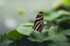 Butterfly (daniellih) Tags: galveston animal gardens butterfly insect march spring rainforest moody texas pyramid galvestonisland moodygardens 2014 galvestoncounty daniellih