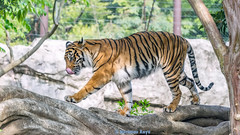 Manis   - Panthera Tigris Sumatrae (Harimau Kayu (AKA Sumatra-Tiger)) Tags: portrait toronto animal cat wonderful asian zoo tokyo spain mr ueno sweet kali tiger beast bouy melancholy tijger carnivorous tigris tigre bigcats sumatran fuengirola manis hypnotic the spaniard  predetor uenozoologicalgardens flesheating amanandawoman  sumatratiger tygr tiikeri  unhommeetunefemme pantheratigrissumatrae sumatraansetijger rengat asiancat brytne tigredesumatra unuomounadonna  sumatrantiikeri harimausumatera   unhombreyunamujer sumatrakaplan tygrsumatersk tygryssumatrzaski  szumtraitigris       hsumatra  einmannundeinefrau enmanochenkvinna