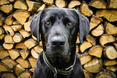 Luther the king (Love Lens Life) Tags: dog pet pets black dogs animal animals outdoors labrador logs backdrop dogwalking labradors dogportrait
