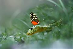 Natura (Zz manipulation) Tags: verde art natura farfalla serpente rettile ambrosioni zzmanipulation