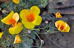 Poppies close-up (Wayne~Chadwick) Tags: river columbia gorge