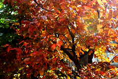 Autumn (ojibwaarts) Tags: morning autumn trees light red orange plant tree green leaves sunshine yellow leafs softlight