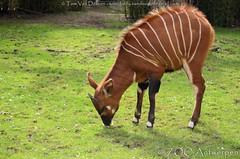 Bergbongo - tragelaphus eurycerus Isaaci - Eastern Bongo (MrTDiddy) Tags: female mammal zoo bongo antelope antwerp eastern antwerpen antilope zooantwerpen vrouwelijk zoogdier tragelaphus eurycerus isaaci bergbongo qamisi