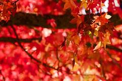 sunshine and autumn (dmunro100) Tags: autumn red sunlight color tree fall canon season eos leaf maple adelaide southaustralia adelaidehills 60d canonef70300mmf456lisusm