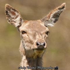 2016-05-04-018 (Andy Beattie Photography) Tags: uk england nature mammal photography europe photographer wildlife yorkshire deer halifax ungulate reddeer northyorkshire westyorkshire ripon eventoed pecora cervuselaphus hoofed andybeattie andybeattiephotography