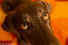 What Big Eyes! (KB RRR) Tags: dog colorado rockymountains frontrange chocolatelabrador shyla