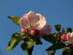 The joy of spring (joeke pieters) Tags: pink blue flower green spring groen blauw blossom lente bloesem roze bloem voorjaar platinumheartaward panasonicdmcfz150 1270235