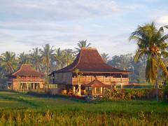 morning sunlight on the rice fields (This Lighthouse Says) Tags: travel light bali sunlight tree green field indonesia nikon rice palm ubud