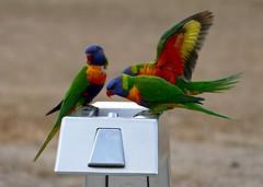 birds 4 (Toni O'Connor2010) Tags: birds rainbow australia lorikeets