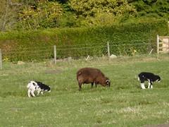Jacob Sheep & Lambs! (Bebopgirl1969) Tags: lamb ewe jacobsheep