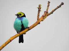 Tangara chilensis (Aisse Gaertner) Tags: brazil bird birds nikon p900 coolpix birdwatching birdwatcher paradisetanager tangarachilensis blinkagain