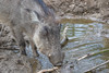 Common warthog 2016-04-14-0020 (BZD1) Tags: animal animals mammal burgerszoo warthog zwijn wrattenzwijn varkens chordata artiodactyla phacochoerus suidae phacochoerusafricanus commonwarthog knobbelzwijn