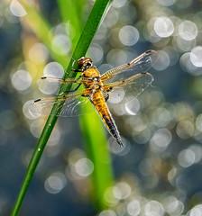 Four Spot Chaser (davep90) Tags: moss warrington dragonfly bokeh chaser risley lnr